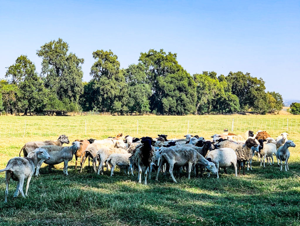 Image of heard of sheep in field