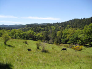 Image of cows in a field at Marshall Ranch