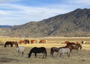 Horses grazing in the golden grass
