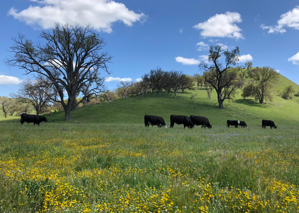 image of cows on hillside