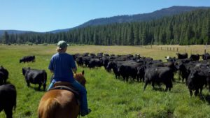 Cindy Maddelana pushes a heard of cattle through a pasture of lush green grass