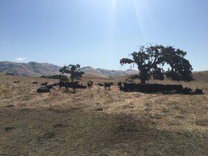 Cattle graze on Roadrunner Ranch in San Benito County
